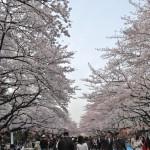 Cherry trees( Ueno Park)