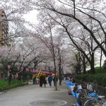 Cherry trees (Sumida park)